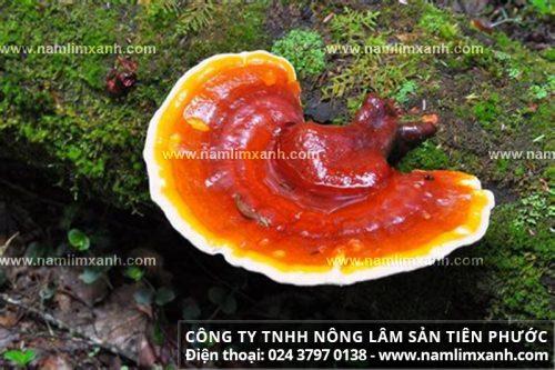 Nấm lim xanh Tiên Phước Quảng Nam rừng tự nhiên