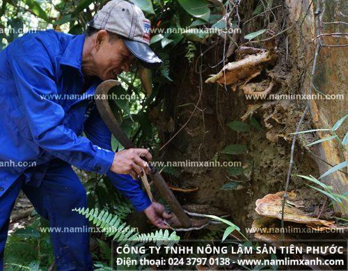 Hình ảnh thợ sơn tràng trèo hái nấm mọc trên gốc cây lim xanh mục