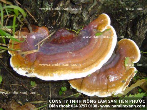 Công ty Nấm lim xanh Đại ngàn Tiên Phước có đội ngũ thợ rừng chuyên nghiệp
