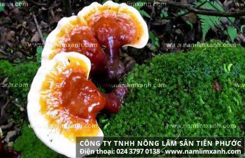 Tác dụng của nấm lim xanh Tiên Phước cho bệnh, tăng cường sức khỏe tốt