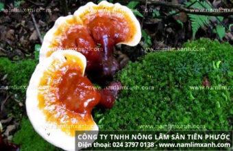 Tác dụng của nấm lim xanh với bệnh gì từ công dụng nấm lim rừng