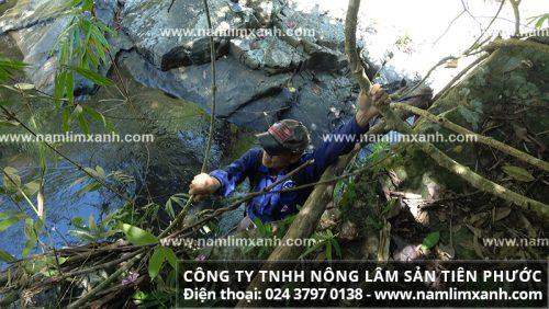 Đu dây leo để vượt suối tìm nấm tự nhiên