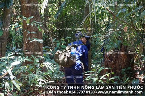 Nấm lim xanh rừng Quảng Nam có tác dụng hiệu quả cho bệnh lý
