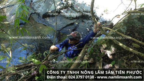 Nấm lim xanh Quảng Nam ngày càng quý hiếm do bị khai thác quá mức