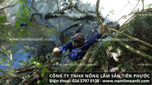 Hành trình vượt suối tìm nấm lim xanh Tiên Phước